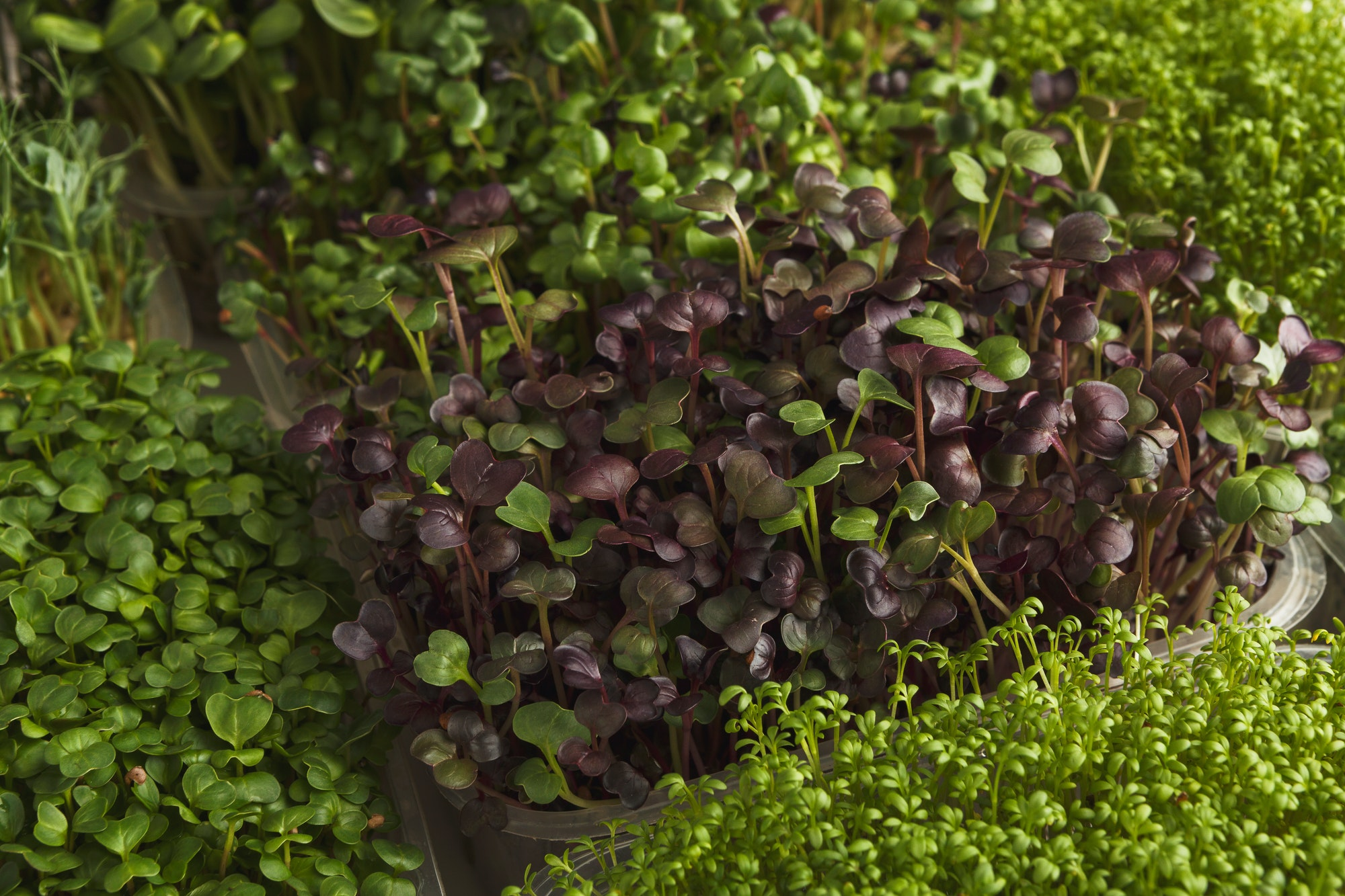 Indoor Growers World - Controlled Environment Agriculture (CEA) - Microgreens grown in an Indoor Grow Facility