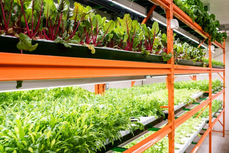 Indoor Growers World - Growing Swiss Chard and Leafy Greens