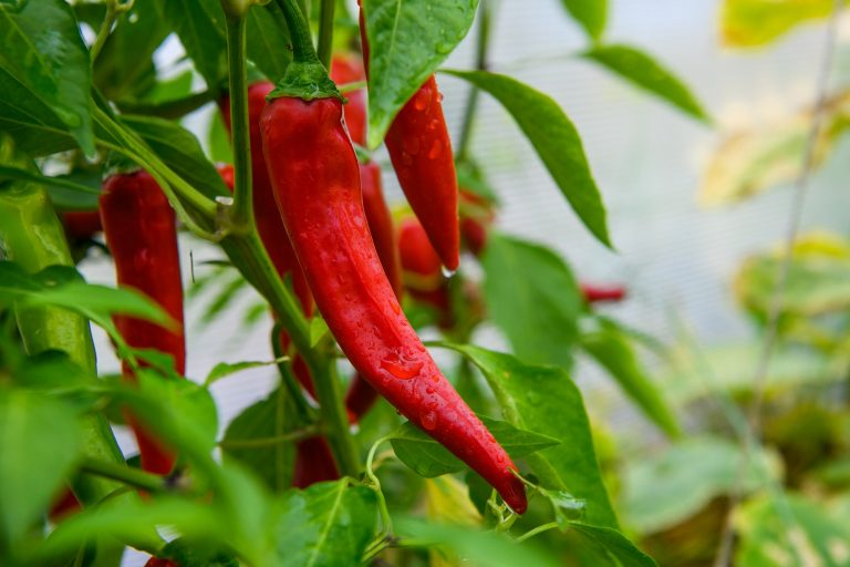 Indoor Growers World - Growing Red Hot Chili Peppers in the greenhouse
