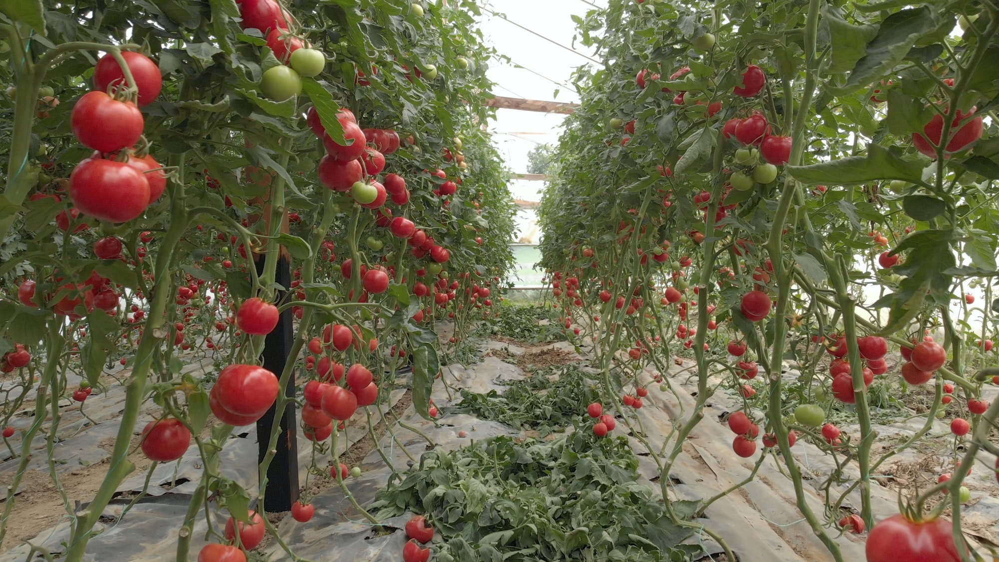 Indoor Growers World - Ripe Tomatoes Ready To Pick in a Greenhouse