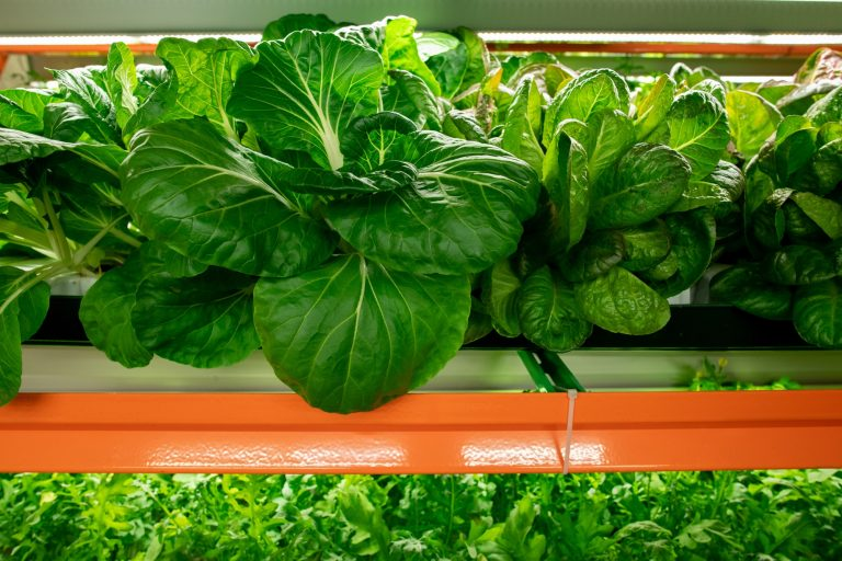 Indoor Growers World - Spinach Leaves grown in a Controlled Environment Vertical Farm