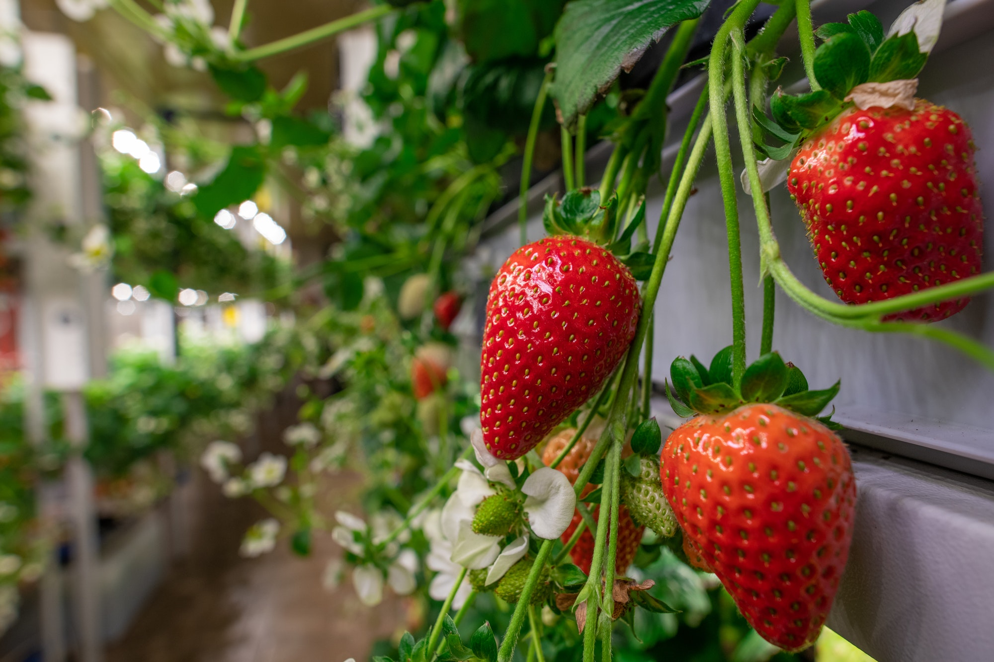 Indoor Growers World - Growing Strawberries Indoors or on a Vertical Farm Takes Lots of Light