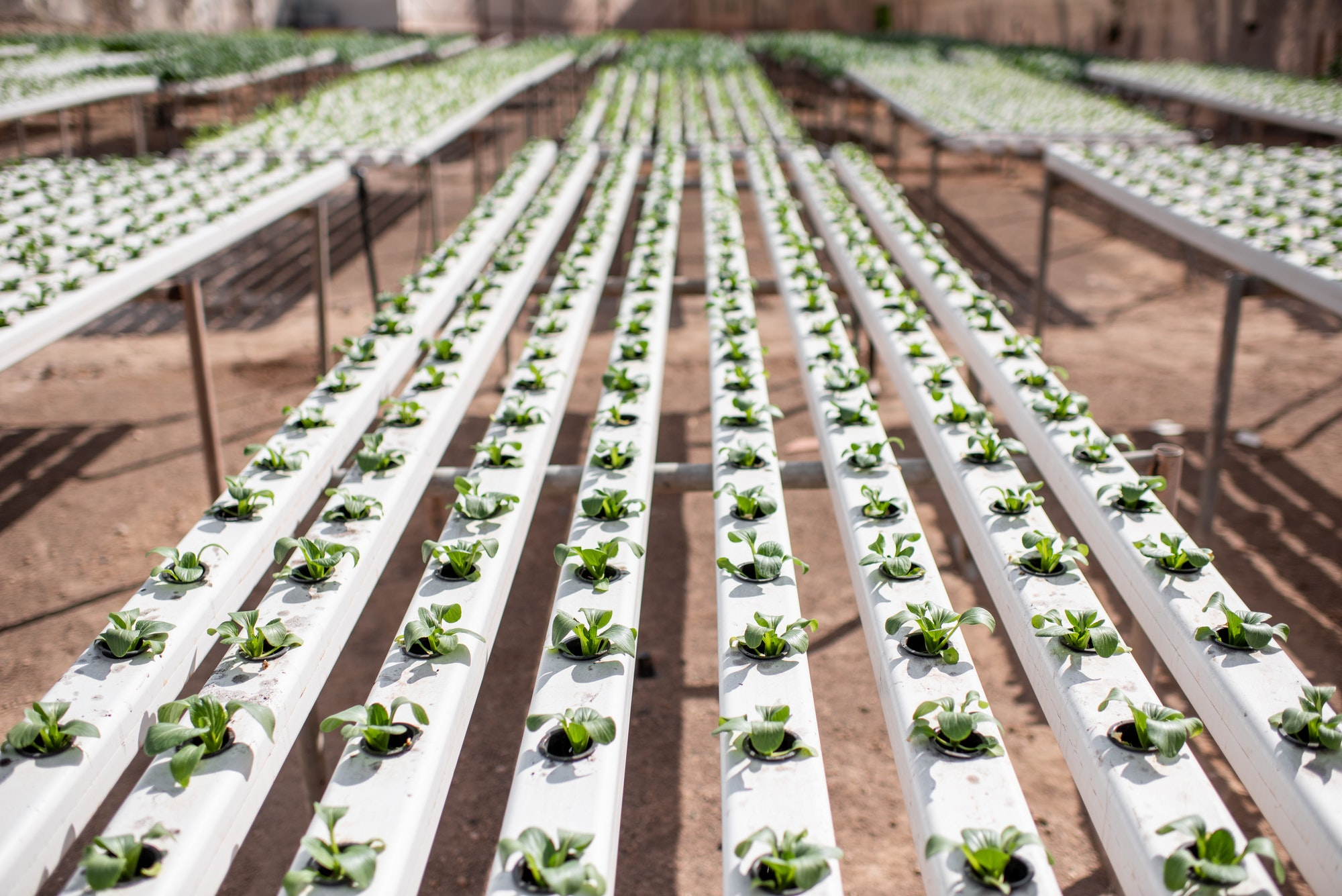 Indoor Growers World - Green lettuce growing in Hydroponics / Aquaponics Greenhouse