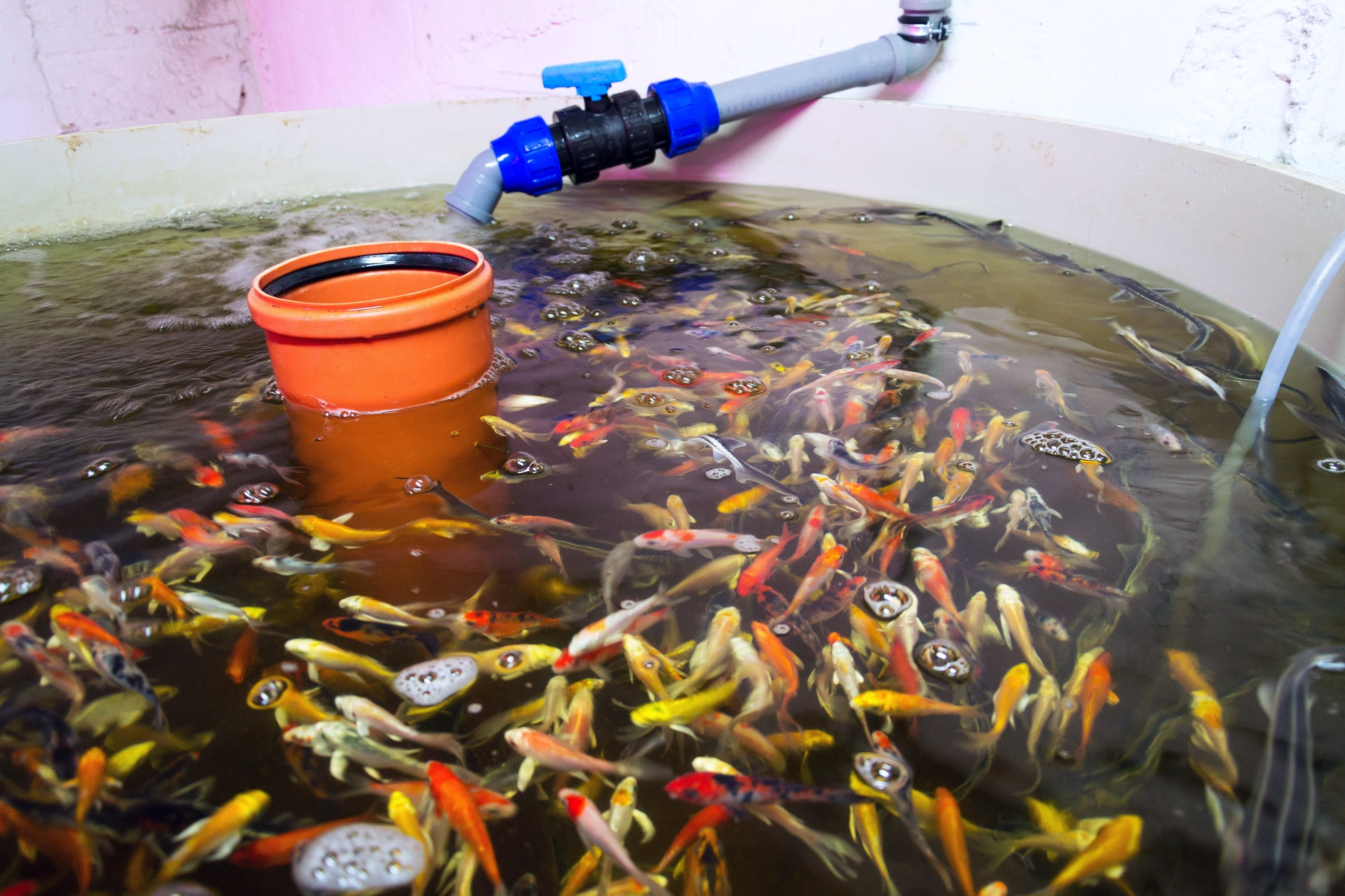 Indoor Growers World - Various fish species in aquaponics system, combination of fish aquaculture with hydroponics